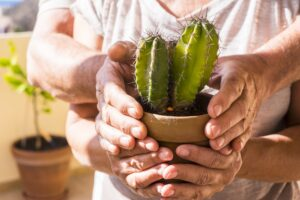 old aged pair of hands retired adult caucasian taking a green live plant cactus